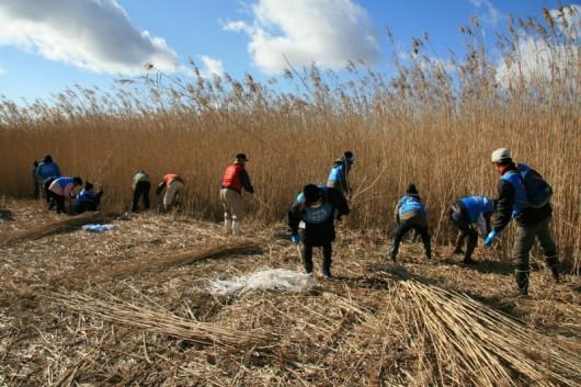 ヨシ原で刈り取りをする参加者=12月7日、石巻市で