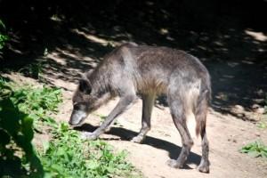 ハイイロオオカミが生物多様性のキーになるかも知れない