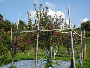 青森県五所川原市で大切に育てられているリンゴ「栄紅」の原木