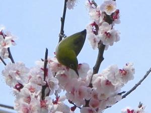 桜の枝にとまるメジロ。今年3月中旬、板橋区内で