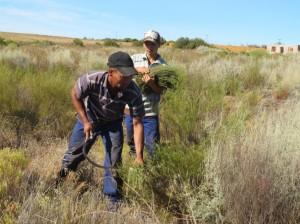 野生ルイボスの刈り取り。南アフリカ北ケープ州で
