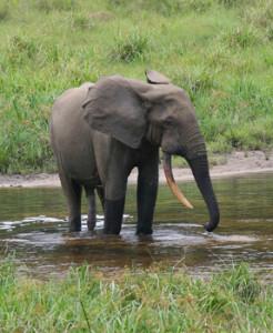 マルミミゾウ。アフリカの6か国にしか生息しておらず希少。マルミミゾウの象牙は硬質象牙と呼ばれ、印鑑などに使われる(Peter H. Wrege)