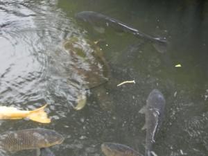 写真A:明治神宮 潜航中のスッポンはこんな風で目立たない
