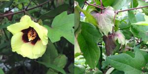 コットンの花(左)と実(右)