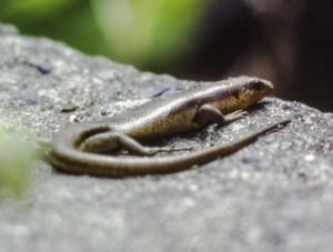 体色は本土のトカゲ、カナヘビに似るが、ウロコには、より光沢がある。(1977年、小畔光一氏撮影・提供)