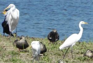 左の白鷺がダイサギ、中央および右の白鷺がチュウサギだ