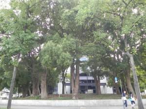 35年前には目新しかった、東京都心のクスの林。今は何の違和感もない。写真は警視庁のクスノキ(桜田門側)。