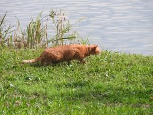 東京港野鳥公園のネコ 首輪のような物が見えるので飼い猫だろうか。 人が立ち入れない区域では人目を恐れず岸辺の水鳥を狙っている。