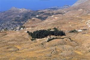 レバノン杉(1996年、撮影・川村徒最子さん)