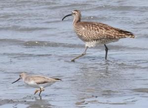 ソリハシシギ(左)とチュウシャクシギ(右) 撮影:東京港野鳥公園