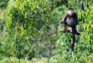 ベトナムなどに生息する絶滅危惧種アカアシドゥクラングール。日本では唯一よこはま動物園ズーラシア(横浜市)が飼育している ⒸBjornolesen.com/Viet Nature Conservation Centre