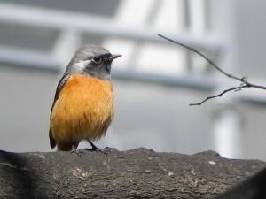銀髪にオレンジの腹部が特徴のオスのジョウビタキ(東京都北区)