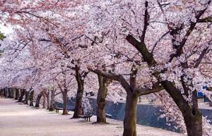 聖火リレーコース候補の浜通りを桜並木にして、次世代につなぐプロジェクトだ Image credit:raneko